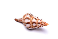 wielki seashell Fotografia Stock