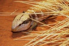 Wielki skink, Tiliqua scincoides, Australia Zdjęcie Royalty Free
