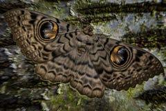 Wielki sowy ćma Fotografia Stock