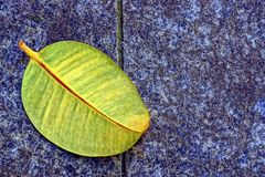 Wielki spadać liść kłama na kamiennym bruku Zdjęcie Royalty Free
