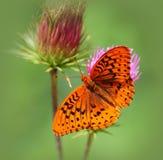 Wielki Spangled Fritillary motyl na osetu kwiacie Zdjęcia Stock