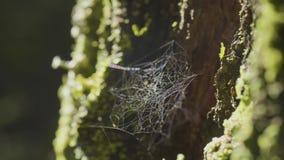 Wielki spiderweb na drzewie na ranek rosie z naturalnym tłem, bardzo stała pajęczyna zbiory wideo
