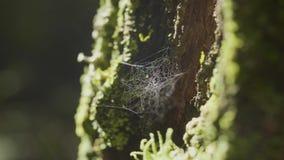 Wielki spiderweb na drzewie na ranek rosie z naturalnym tłem, bardzo stała pajęczyna zbiory