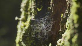 Wielki spiderweb na drzewie na ranek rosie z naturalnym tłem, bardzo stała pajęczyna zdjęcie wideo