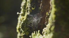 Wielki spiderweb na drzewie na ranek rosie z naturalnym tłem, bardzo stała pajęczyna obraz royalty free