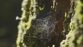 Wielki spiderweb na drzewie na ranek rosie z naturalnym tłem, bardzo stała pajęczyna zdjęcie stock