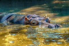 Wielki ssak dzikie zwierzę, hipopotam w wodzie Obraz Stock