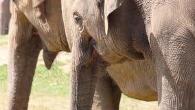 Wielki stado Azjatyccy słonie Zdjęcia Stock