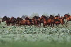 Wielki stado konie Hutsul traken Konie galopujący w trawie Zdjęcie Royalty Free