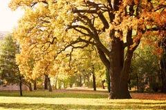 Wielki stary dębowy drzewo z yellowed liści stojakami na polanie zdjęcie royalty free