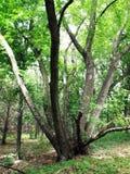 wielki stary drzewo Obraz Royalty Free