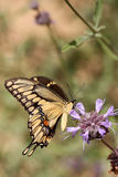 wielki swallowtail Zdjęcie Royalty Free