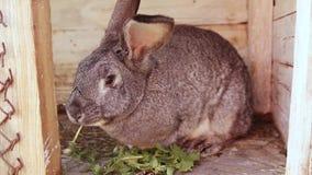 Wielki szary królik je trawy obsiadanie w drewnianej klatce Żeńska ręka stawia świrzepy w klatce zdjęcie wideo