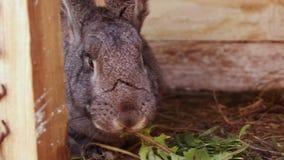 Wielki szary królik je trawy obsiadanie w drewnianej klatce Żeńska ręka stawia świrzepy w klatce zbiory