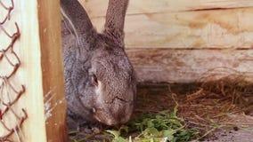 Wielki szary królik je trawy obsiadanie w drewnianej klatce Żeńska ręka stawia świrzepy w klatce zbiory wideo
