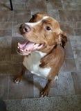 Wielki szczęśliwy pies obrazy royalty free