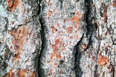 wielki szczekać blisko tekstury drzewo Zdjęcia Stock