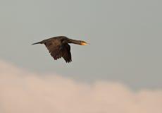 wielki szybki kormoranu lot Zdjęcie Stock