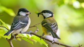 Wielki tit żywieniowym młodym ptakiem jest Zdjęcie Royalty Free