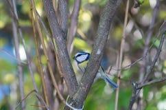 Wielki tit, błękitny tit je grubą piłkę przy żłobem w gałąź drzewa Obraz Stock