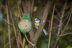 Wielki tit, błękitny tit je grubą piłkę przy żłobem w gałąź drzewa Obrazy Stock