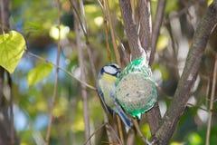 Wielki tit, błękitny tit je grubą piłkę przy żłobem w gałąź drzewa Zdjęcia Royalty Free