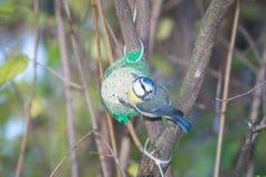 Wielki tit, błękitny tit je grubą piłkę przy żłobem w gałąź drzewa Zdjęcie Stock