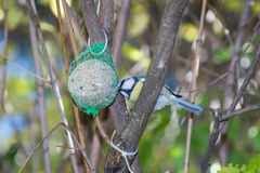 Wielki tit, błękitny tit je grubą piłkę przy żłobem w gałąź drzewa Obraz Royalty Free