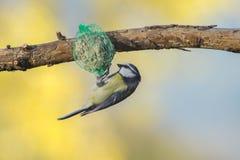 Wielki tit, błękitny tit je grubą piłkę przy żłobem w gałąź drzewa Fotografia Stock