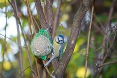Wielki tit, błękitny tit je grubą piłkę przy żłobem w gałąź drzewa Fotografia Royalty Free