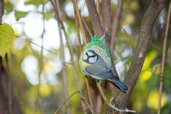 Wielki tit, błękitny tit je grubą piłkę przy żłobem w gałąź drzewa Obrazy Royalty Free