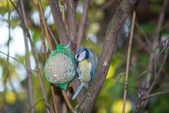 Wielki tit, błękitny tit je grubą piłkę przy żłobem w gałąź drzewa Zdjęcie Royalty Free