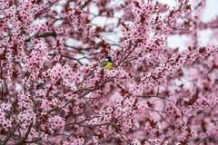 Wielki Tit Parus ważny, odpoczywający na kwiatonośnej śliwki gałąź fotografia royalty free