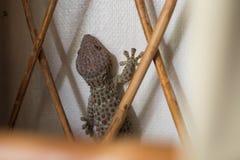 Wielki Tokajski gekonu obsiadanie w ścianie Fotografia Royalty Free