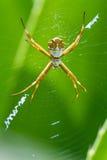 Wielki tropikalny pająk zdjęcie stock