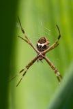 Wielki tropikalny pająk obraz stock