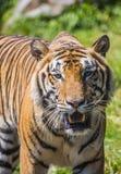 wielki tygrys zdjęcia stock