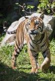 wielki tygrys obraz royalty free