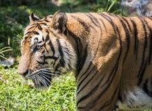 wielki tygrys zdjęcie stock