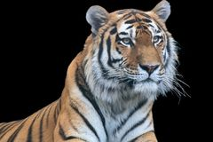 Wielki tygrys odizolowywający na czerni obraz stock