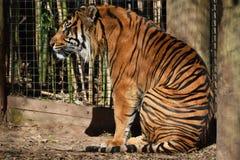 Wielki tygrys Siedzi Fotografia Royalty Free