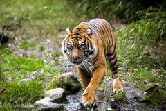 Wielki tygrys w dzikim jest na polowaniu Obrazy Royalty Free