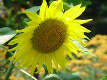 Wielki wibrujący słonecznik kwitnie w polach na letnim dniu! obraz royalty free