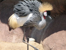 Wielki widok Wschodniego afrykanina Koronowany żuraw Fotografia Stock