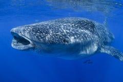 Wielki Wielorybiego rekinu karmienie z usta Otwartym fotografia stock