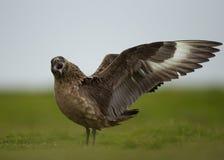 Wielki wydrzyk (Stercorarius wydrzyk) Fotografia Stock