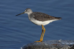 wielki yellowlegs Fotografia Royalty Free