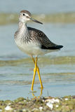 wielki yellowlegs Obraz Stock