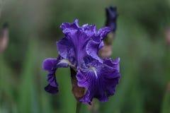 Wielki zakończenie dosyć błękitny kwiat z zielonym tłem Fotografia Stock