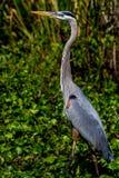 Wielki zbliżenie Strzelał Dzika Wielkiego błękita czapla przy 40 Akr jeziorem. (Ardea herodias)  Teksas. Zdjęcie Stock